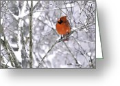 Weather Photographs Greeting Cards - Cardinal Male Greeting Card by Rob Travis