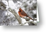 Red Bird Greeting Cards - Cardinal on Snowy Branch Greeting Card by Rob Travis