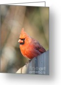 Cardinal Greeting Cards - Cardinal Profile Greeting Card by Benanne Stiens