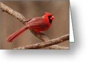 Wins Greeting Cards - Cardinal Profile Greeting Card by Edward Loesch