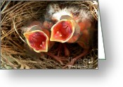 Cardinals. Wildlife. Nature. Photography Greeting Cards - Cardinal Twins - Open Wide Greeting Card by Al Powell Photography USA