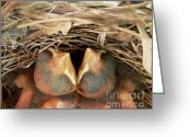 Audubon Greeting Cards - Cardinal Twins - Snugly Sleeping Greeting Card by Al Powell Photography USA