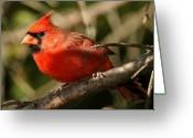 Male Photo Greeting Cards - Cardinal Up Close Greeting Card by Alan Lenk