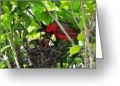 Baby Birds Greeting Cards - Cardinals Chowtime Greeting Card by Al Powell Photography USA