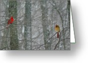 Cardinals In Snow Greeting Cards - Cardinals in Snow Greeting Card by Serina Wells
