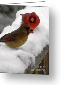 Cardinals. Wildlife. Nature. Photography Greeting Cards - Cardinals with Seed Greeting Card by Jennifer Wosmansky