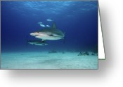 Caribbean Sea Greeting Cards - Caribbean Reef Sharks Greeting Card by James R.D. Scott
