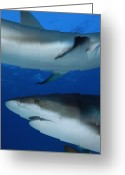 West Indies Greeting Cards - Caribbean Reef Sharks Swim Greeting Card by Brian J. Skerry