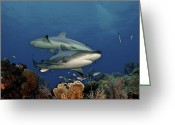 West Indies Greeting Cards - Caribbean Reef Sharks Swimming Greeting Card by Brian J. Skerry