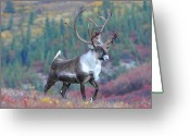 Game Animals Photo Greeting Cards - Caribou Strut Greeting Card by Alan Lenk