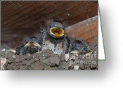 Decorativ Photo Greeting Cards - Caring for Baby Birds www.pictat.ro Greeting Card by Preda Bianca Angelica