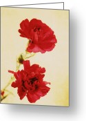 Northwest Flowers Greeting Cards - Carnations Greeting Card by Cathie Tyler