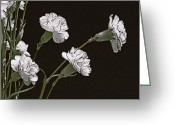 Pink Carnations Greeting Cards - Carnations Greeting Card by James Steele