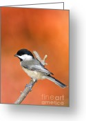 Indiana Autumn Greeting Cards - Carolina Chickadee - D007812 Greeting Card by Daniel Dempster
