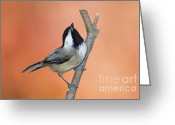 Indiana Autumn Greeting Cards - Carolina Chickadee - D007814 Greeting Card by Daniel Dempster