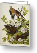Drawing Of Bird Greeting Cards - Carolina Turtledove Greeting Card by John James Audubon