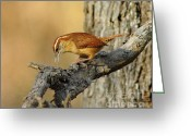 Birdwatcher Greeting Cards - Carolina Wren Greeting Card by Robert Frederick