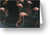 Captive Animals Greeting Cards - Carribean Flamingoes At The Sedgwick Greeting Card by Joel Sartore