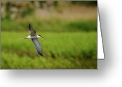 Tern Greeting Cards - Caspian Tern  in flight with fish  Greeting Card by Cliff  Norton