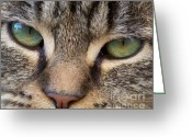 Gray Tabby Greeting Cards - Cat Eyes - Photography Greeting Card by Rebecca Anne Grant