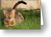 Animal Themes Greeting Cards - Cat In Grass Field Greeting Card by Henri Taverne