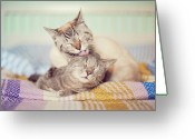 Two Animals Greeting Cards - Cat Licking Another Cat Greeting Card by Viola Tavazzani Photography