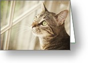 Head And Shoulders Greeting Cards - Cat Looking At Window Greeting Card by Jody Trappe Photography