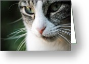 Arkansas Greeting Cards - Cat Portrait Greeting Card by Julia Williams