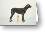 Yellow Dog Greeting Cards - Cat Sitting Beneath Great Dane Greeting Card by Oppenheim Bernhard