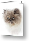\\\\hair Color\\\\ Greeting Cards - Cat With Long Hair Greeting Card by www.WM ArtPhoto.se