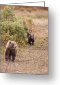 Grizzly Bears Greeting Cards - Catching up with Mom Greeting Card by Tim Grams