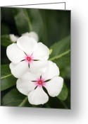 Vinca Flowers Greeting Cards - Catharanthus Roseus Greeting Card by Maria Mosolova