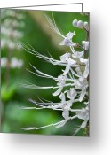 Orthosiphon Aristatus Greeting Cards - Cats Whiskers Flowers Greeting Card by Wendy White