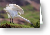 Wild Bird Greeting Cards - Cattle Egret Greeting Card by Mcb Bank Bhalwal