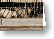 Feeding Greeting Cards - Cattle Feeding in a Barn Greeting Card by Andy Smy