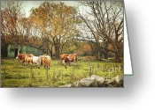 Graze Photo Greeting Cards - Cattle gazing on remaining green grass Greeting Card by Sandra Cunningham