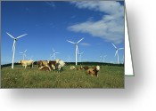 Cattle Greeting Cards - Cattle In A Field With Rows Greeting Card by Steve Winter