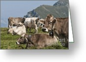 Cattle Greeting Cards - cattle on Monte Baldo Italy Greeting Card by Gady Cojocaru