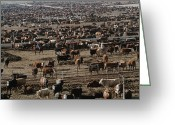 Environmental Damage Greeting Cards - Cattle Wait To Be Moved By Cowboys Greeting Card by James A. Sugar