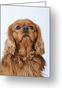 Toy Animals Greeting Cards - Cavalier King Charles Spaniel Looking Up, Studio Shot Greeting Card by Martin Harvey