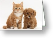 Cross Breed Greeting Cards - Cavapoo Puppy And Kitten Greeting Card by Mark Taylor