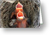 Baby Birds Greeting Cards - Cavernous Cardinals Greeting Card by Al Powell Photography USA