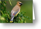 Spokane Greeting Cards - Cedar Waxwing Greeting Card by Ben Upham