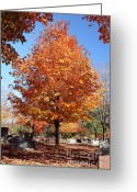 Foilage Greeting Cards - Cemetery Maple Greeting Card by Robert Frederick