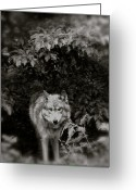 Playful Wolves Greeting Cards - Center Of The Forest Greeting Card by Debra     Vatalaro