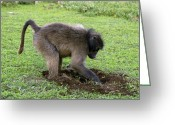 Figs Greeting Cards - Chacma Baboon Digging Greeting Card by Peter Chadwick