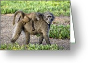 Protective Mother Greeting Cards - Chacma Baboon Mother And Young Greeting Card by Peter Chadwick