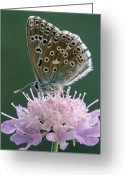 Gossamer Greeting Cards - Chalk-hill Blue Lysandra Coridon Greeting Card by Cisca Castelijns