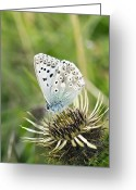 Food Source Greeting Cards - Chalkhill Blue Butterfly Greeting Card by Adrian Bicker