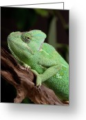 Lizard Greeting Cards - Chameleon Greeting Card by Andrea & Tim photography